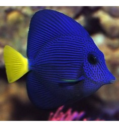 Зебрасома синяя желтохвостая. Zebrasoma xanthurum. ML.