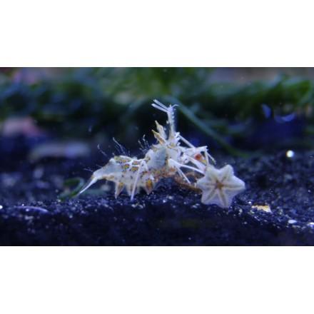 Bongo shrimp. Phyllognathia ceratophthalma. Пара креветок.