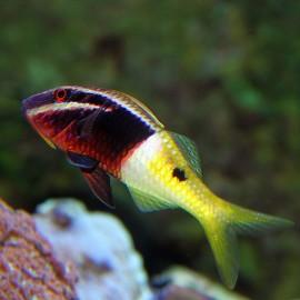 Parupeneus barberinoides. Parupeneus bicolor.