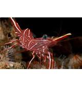 Dancing Shrimp. Rhynchocinetes species.