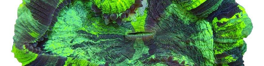 Крупнополипные кораллы LPS